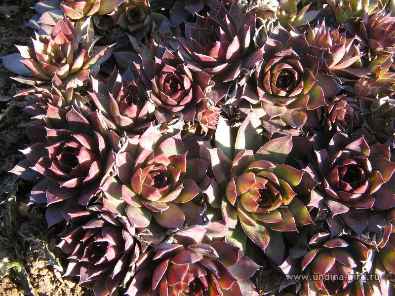 "<div class=ru><p>22.04.2008</p><p><span class=ubcl>молодило «Noir», род молодило Sempervivum</span></p></div><div class=en><p>Apr 22, 2008</p><p><span class=ubcl>sempervivum ""noir"", genus Houseleeks, or liveforever Sempervivum</span></p></div><hr style=clear:both;><p class=ubcf><span class=ubcl>молодило «Noir» 