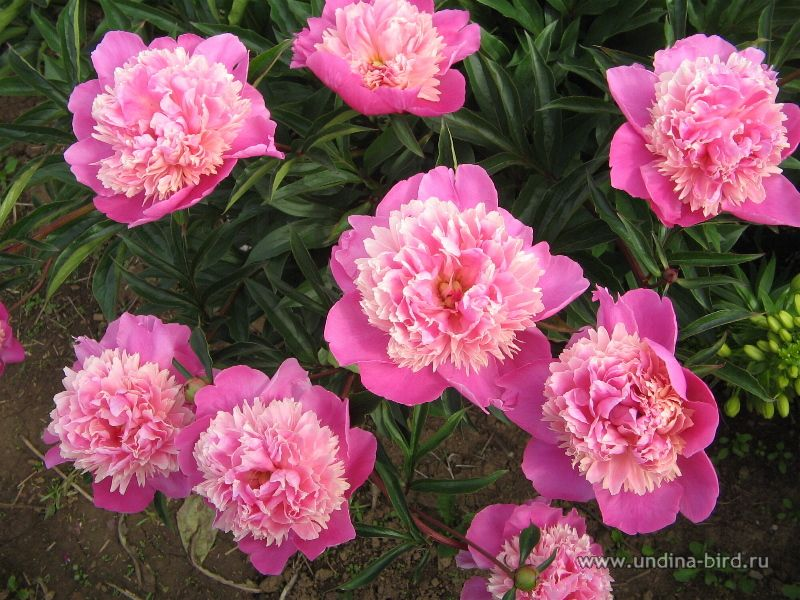 <div class=ru><p>29.06.2008</p><p><span class=ubcl>пион молочноцветковый Paeonia lactiflora</span></p></div><div class=en><p>Jun 29, 2008</p><p><span class=ubcl>species Chinese peony, common garden peony Paeonia lactiflora</span></p></div><hr style=clear:both;><p class=ubcf><span class=ubcl>пион молочноцветковый  | species Chinese peony, common garden peony <a href=http://undina-bird.ru/Galleries/tabid/56/SearchID/60/Default.aspx?SearchText=(%20Paeonia%20lactiflora%20)>( Paeonia lactiflora )</a> — род пион  | genus Peony <a href=http://undina-bird.ru/Galleries/tabid/56/SearchID/60/Default.aspx?SearchText=(%20Paeonia%20)>( Paeonia )</a> — сем. Пионовые  | family <a href=http://undina-bird.ru/Galleries/tabid/56/SearchID/60/Default.aspx?SearchText=(%20Paeoniaceae%20)>( Paeoniaceae )</a> — порядок Камнеломковые  | order <a href=http://undina-bird.ru/Galleries/tabid/56/SearchID/60/Default.aspx?SearchText=(%20Saxifragales%20)>( Saxifragales )</a> — класс Двудольные  | class Dicotyledons <a href=http://undina-bird.ru/Galleries/tabid/56/SearchID/60/Default.aspx?SearchText=(%20Magnoliopsida%20)>( Magnoliopsida )</a> — отдел Покрытосеменные  | phylum Angiosperms <a href=http://undina-bird.ru/Galleries/tabid/56/SearchID/60/Default.aspx?SearchText=(%20Magnoliophyta%20)>( Magnoliophyta )</a> — Растения  | kingdom Plants <a href=http://undina-bird.ru/Galleries/tabid/56/SearchID/60/Default.aspx?SearchText=(%20Plantae%20)>( Plantae )</a></span></p>