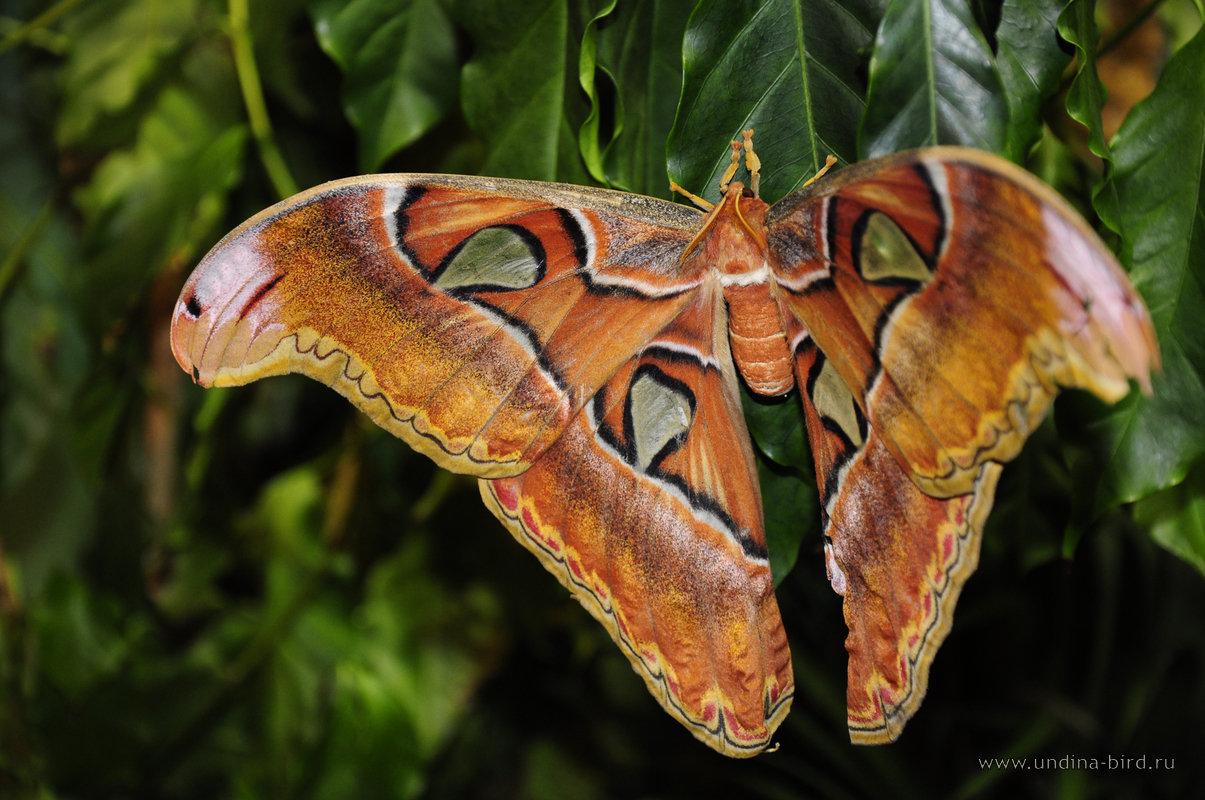 Очень большая бабочка
