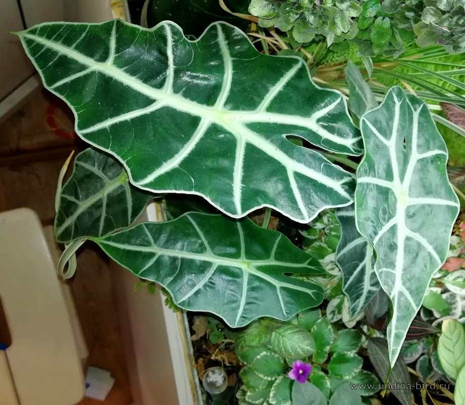 <div class=ru><p>Дата фото: 04.10.2017</p><p><span class=ubcl>алоказия амазонская  <em>Alocasia amazonica</em> </span></p></div><div class=en><p>Photo taken on Oct 04, 2017</p><p><span class=ubcl>african mask, amazon elephant`s ear <em>Alocasia amazonica</em> </span></p></div><hr style=clear:both;><p class=ubcf><span class=ubcl>  алоказия амазонская  <a href=http://undina-bird.ru/Galleries/tabid/56/SearchID/60/Default.aspx?SearchText=(%20Alocasia%20amazonica%20)>( Alocasia amazonica )</a> african mask, amazon elephant`s ear  — род алоказия  <a href=http://undina-bird.ru/Galleries/tabid/56/SearchID/60/Default.aspx?SearchText=(%20Alocasia%20)>( Alocasia )</a> genus  — сем. Ароидные  <a href=http://undina-bird.ru/Galleries/tabid/56/SearchID/60/Default.aspx?SearchText=(%20Araceae%20)>( Araceae )</a> Arum family — порядок Частухоцветные  <a href=http://undina-bird.ru/Galleries/tabid/56/SearchID/60/Default.aspx?SearchText=(%20Alismatales%20)>( Alismatales )</a> order  — класс Однодольные  <a href=http://undina-bird.ru/Galleries/tabid/56/SearchID/60/Default.aspx?SearchText=(%20Liliopsida%20)>( Liliopsida )</a> class Monocotyledons — отдел Покрытосеменные  <a href=http://undina-bird.ru/Galleries/tabid/56/SearchID/60/Default.aspx?SearchText=(%20Magnoliophyta%20)>( Magnoliophyta )</a> phylum Angiosperms — Растения  <a href=http://undina-bird.ru/Galleries/tabid/56/SearchID/60/Default.aspx?SearchText=(%20Plantae%20)>( Plantae )</a> kingdom Plants</span></p><div id=disqus_thread></div><script type=text/javascript>var disqus_shortname = 'undina-bird'; var disqus_identifier = '4558'; var disqus_url = 'http://undina-bird.ru/Galleries/tabid/56/galleryType/SlideShow/ItemID/4558/Default.aspx';  (function() {var dsq = document.createElement('script'); dsq.type = 'text/javascript'; dsq.async = true; dsq.src = 'http://' + disqus_shortname + '.disqus.com/embed.js'; (document.getElementsByTagName('head')[0] || document.getElementsByTagName('body')[0]).appendChild(dsq); })(); </script><noscript>Please enable JavaScript to view the <a href=http://disqus.com/?ref_noscript>comments powered by Disqus.</a></noscript><a href=http://disqus.com class=dsq-brlink>blog comments powered by <span class=logo-disqus>Disqus</span></a>