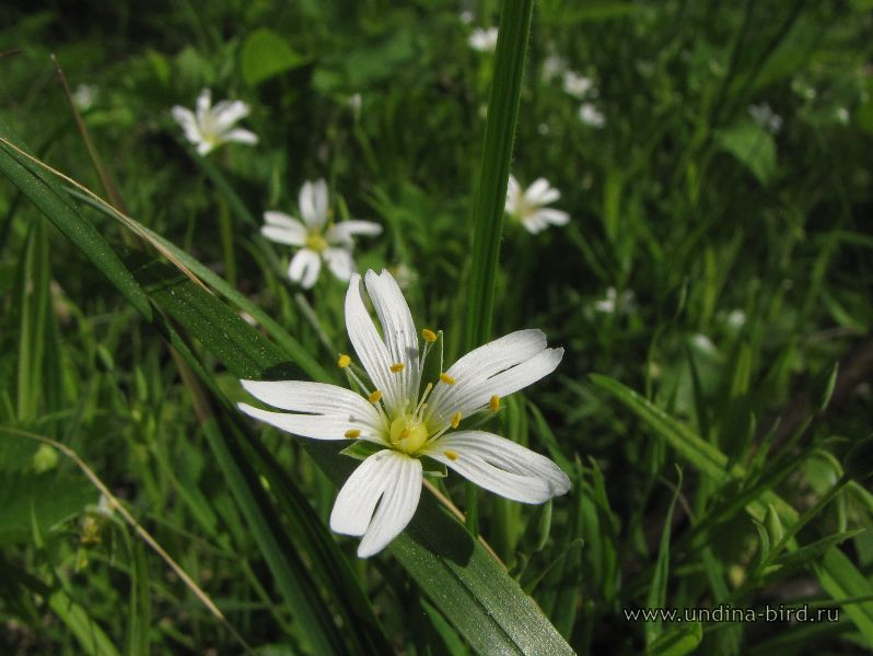 <div class=ru><p>23.05.2010</p><p><span class=ubcl>звездчатка жестколистная Stellaria holostea</span></p></div><div class=en><p>May 23, 2010</p><p><span class=ubcl>species Addersmeat, or greater stitchwort Stellaria holostea</span></p></div><hr style=clear:both;><p class=ubcf><span class=ubcl>звездчатка жестколистная  | species Addersmeat, or greater stitchwort <a href=http://undina-bird.ru/Galleries/tabid/56/SearchID/60/Default.aspx?SearchText=(%20Stellaria%20holostea%20)>( Stellaria holostea )</a> — род звездчатка  | genus <a href=http://undina-bird.ru/Galleries/tabid/56/SearchID/60/Default.aspx?SearchText=(%20Stellaria%20)>( Stellaria )</a> — сем. Гвоздичные  | Pink family <a href=http://undina-bird.ru/Galleries/tabid/56/SearchID/60/Default.aspx?SearchText=(%20Caryophyllaceae%20)>( Caryophyllaceae )</a> — порядок Гвоздичноцветные  | order <a href=http://undina-bird.ru/Galleries/tabid/56/SearchID/60/Default.aspx?SearchText=(%20Caryophyllales%20)>( Caryophyllales )</a> — класс Двудольные  | class Dicotyledons <a href=http://undina-bird.ru/Galleries/tabid/56/SearchID/60/Default.aspx?SearchText=(%20Magnoliopsida%20)>( Magnoliopsida )</a> — отдел Покрытосеменные  | phylum Angiosperms <a href=http://undina-bird.ru/Galleries/tabid/56/SearchID/60/Default.aspx?SearchText=(%20Magnoliophyta%20)>( Magnoliophyta )</a> — Растения  | kingdom Plants <a href=http://undina-bird.ru/Galleries/tabid/56/SearchID/60/Default.aspx?SearchText=(%20Plantae%20)>( Plantae )</a></span></p>