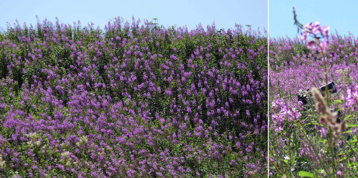 Chamerion angustifolium иван чайное поле
