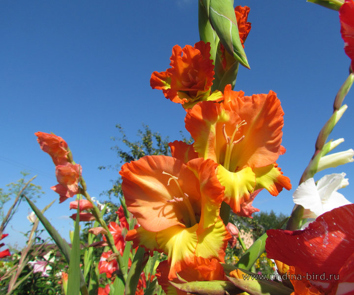 <div class=ru><p>Дата фото: 21.08.2012</p><p><span class=ubcl>род гладиолус, шпажник <em>Gladiolus</em></span></p></div><div class=en><p>Photo taken on Aug 21, 2012</p><p><span class=ubcl>genus gladiolus, sword lily <em>Gladiolus</em></span></p></div><hr style=clear:both;><p class=ubcf><span class=ubcl> род гладиолус, шпажник | genus gladiolus, sword lily <a href=http://undina-bird.ru/Galleries/tabid/56/SearchID/60/Default.aspx?SearchText=(%20Gladiolus%20)>( Gladiolus )</a> — сем. Ирисовые  | Iris family <a href=http://undina-bird.ru/Galleries/tabid/56/SearchID/60/Default.aspx?SearchText=(%20Iridaceae%20)>( Iridaceae )</a> — порядок Спаржецветные  | order  <a href=http://undina-bird.ru/Galleries/tabid/56/SearchID/60/Default.aspx?SearchText=(%20Asparagales%20)>( Asparagales )</a> — класс Однодольные  | class Monocotyledons <a href=http://undina-bird.ru/Galleries/tabid/56/SearchID/60/Default.aspx?SearchText=(%20Liliopsida%20)>( Liliopsida )</a> — отдел Покрытосеменные  | phylum Angiosperms <a href=http://undina-bird.ru/Galleries/tabid/56/SearchID/60/Default.aspx?SearchText=(%20Magnoliophyta%20)>( Magnoliophyta )</a> — Растения  | kingdom Plants <a href=http://undina-bird.ru/Galleries/tabid/56/SearchID/60/Default.aspx?SearchText=(%20Plantae%20)>( Plantae )</a></span></p><div id=disqus_thread></div><script type=text/javascript>var disqus_shortname = 'undina-bird'; var disqus_identifier = '3149'; var disqus_url = 'http://undina-bird.ru/Galleries/tabid/56/galleryType/SlideShow/ItemID/3149/Default.aspx';  (function() {var dsq = document.createElement('script'); dsq.type = 'text/javascript'; dsq.async = true; dsq.src = 'http://' + disqus_shortname + '.disqus.com/embed.js'; (document.getElementsByTagName('head')[0] || document.getElementsByTagName('body')[0]).appendChild(dsq); })(); </script><noscript>Please enable JavaScript to view the <a href=http://disqus.com/?ref_noscript>comments powered by Disqus.</a></noscript><a href=http://disqus.com class=dsq-brlink>blog comments powered by <span class=logo-disqus>Disqus</span></a>