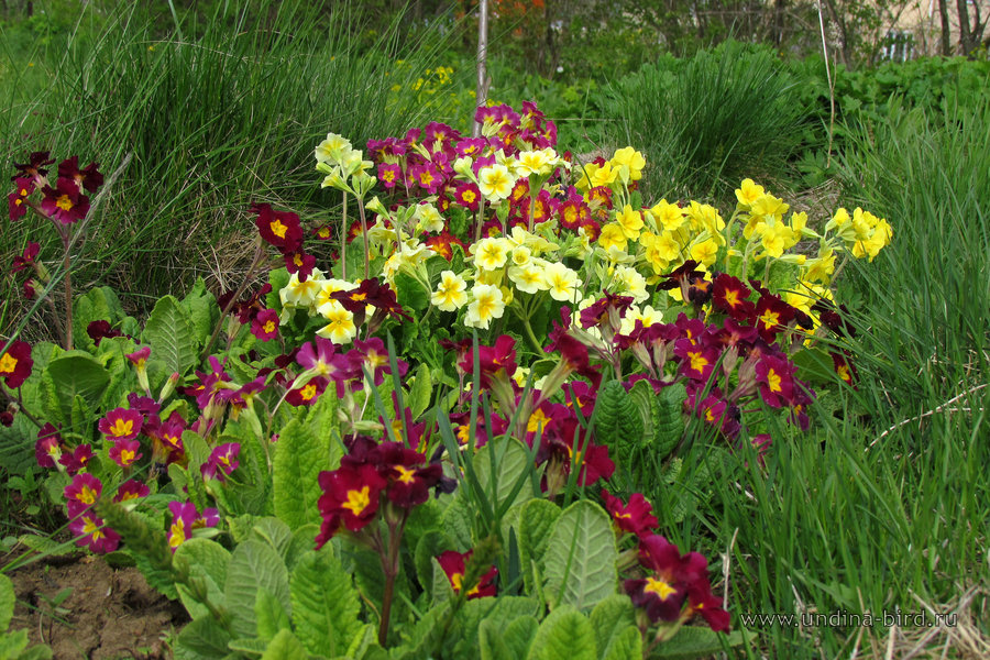 <div class=ru><p>Дата фото: 17.05.2015</p><p><span class=ubcl>первоцвет  <em>Primula</em> </span></p></div><div class=en><p>Photo taken on May 17, 2015</p><small>2015-may</small><p><span class=ubcl>primrose <em>Primula</em> </span></p></div><hr style=clear:both;><p class=ubcf><span class=ubcl> род первоцвет  | genus primrose <a href=http://undina-bird.ru/Galleries/tabid/56/SearchID/60/Default.aspx?SearchText=(%20Primula%20)>( Primula )</a> — сем. Первоцветные  | Primrose family <a href=http://undina-bird.ru/Galleries/tabid/56/SearchID/60/Default.aspx?SearchText=(%20Primulaceae%20)>( Primulaceae )</a> — порядок Первоцветные  | order  <a href=http://undina-bird.ru/Galleries/tabid/56/SearchID/60/Default.aspx?SearchText=(%20Primulales%20)>( Primulales )</a> — класс Двудольные  | class Dicotyledons <a href=http://undina-bird.ru/Galleries/tabid/56/SearchID/60/Default.aspx?SearchText=(%20Magnoliopsida%20)>( Magnoliopsida )</a> — отдел Покрытосеменные  | phylum Angiosperms <a href=http://undina-bird.ru/Galleries/tabid/56/SearchID/60/Default.aspx?SearchText=(%20Magnoliophyta%20)>( Magnoliophyta )</a> — Растения  | kingdom Plants <a href=http://undina-bird.ru/Galleries/tabid/56/SearchID/60/Default.aspx?SearchText=(%20Plantae%20)>( Plantae )</a></span></p><div id=disqus_thread></div><script type=text/javascript>var disqus_shortname = 'undina-bird'; var disqus_identifier = '3199'; var disqus_url = 'http://undina-bird.ru/Galleries/tabid/56/galleryType/SlideShow/ItemID/3199/Default.aspx';  (function() {var dsq = document.createElement('script'); dsq.type = 'text/javascript'; dsq.async = true; dsq.src = 'http://' + disqus_shortname + '.disqus.com/embed.js'; (document.getElementsByTagName('head')[0] || document.getElementsByTagName('body')[0]).appendChild(dsq); })(); </script><noscript>Please enable JavaScript to view the <a href=http://disqus.com/?ref_noscript>comments powered by Disqus.</a></noscript><a href=http://disqus.com class=dsq-brlink>blog comments powered by <span class=logo-disqus>Disqus</span></a>