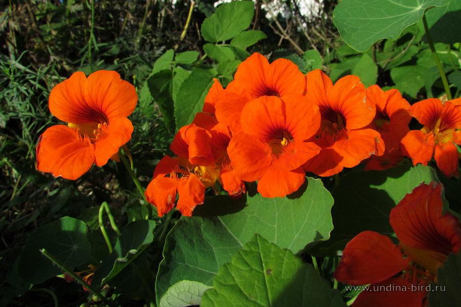 Настурция иноземная канарейка выращивание фото