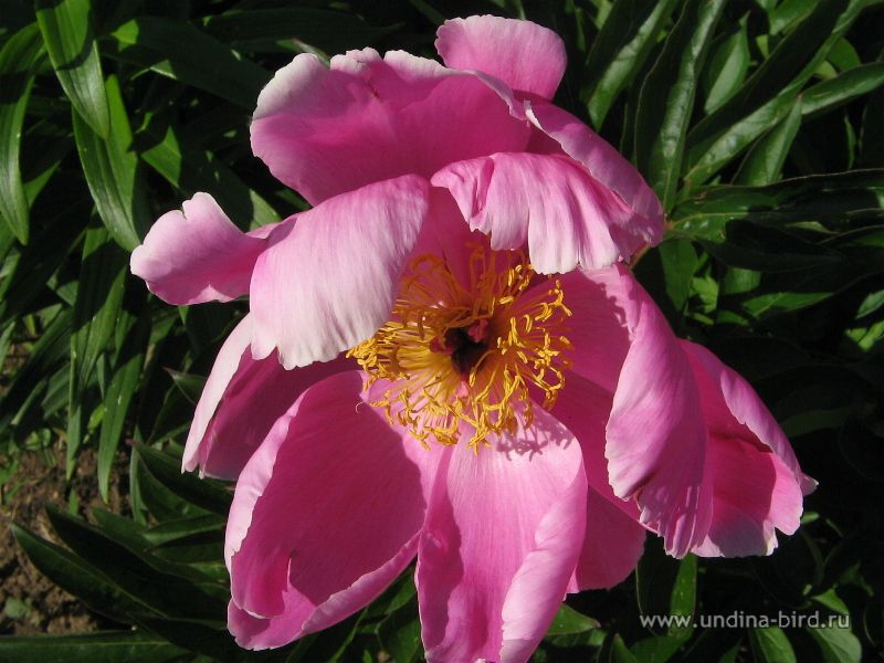 <div class=ru><p>23.06.2007</p><p><span class=ubcl>пион молочноцветковый Paeonia lactiflora</span></p></div><div class=en><p>Jun 23, 2007</p><p><span class=ubcl>species Chinese peony, common garden peony Paeonia lactiflora</span></p></div><hr style=clear:both;><p class=ubcf><span class=ubcl>пион молочноцветковый  | species Chinese peony, common garden peony <a href=http://undina-bird.ru/Galleries/tabid/56/SearchID/60/Default.aspx?SearchText=(%20Paeonia%20lactiflora%20)>( Paeonia lactiflora )</a> — род пион  | genus Peony <a href=http://undina-bird.ru/Galleries/tabid/56/SearchID/60/Default.aspx?SearchText=(%20Paeonia%20)>( Paeonia )</a> — сем. Пионовые  | family <a href=http://undina-bird.ru/Galleries/tabid/56/SearchID/60/Default.aspx?SearchText=(%20Paeoniaceae%20)>( Paeoniaceae )</a> — порядок Камнеломковые  | order <a href=http://undina-bird.ru/Galleries/tabid/56/SearchID/60/Default.aspx?SearchText=(%20Saxifragales%20)>( Saxifragales )</a> — класс Двудольные  | class Dicotyledons <a href=http://undina-bird.ru/Galleries/tabid/56/SearchID/60/Default.aspx?SearchText=(%20Magnoliopsida%20)>( Magnoliopsida )</a> — отдел Покрытосеменные  | phylum Angiosperms <a href=http://undina-bird.ru/Galleries/tabid/56/SearchID/60/Default.aspx?SearchText=(%20Magnoliophyta%20)>( Magnoliophyta )</a> — Растения  | kingdom Plants <a href=http://undina-bird.ru/Galleries/tabid/56/SearchID/60/Default.aspx?SearchText=(%20Plantae%20)>( Plantae )</a></span></p>