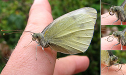 Почти капустница <br />Some Cabbage Butterfly