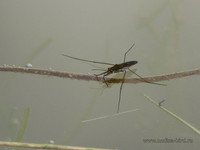Водомерка <br />A Water Strider
