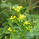 Золотая розга <br />European Goldenrod