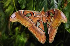 Очень большая бабочка  | A Very Large Moth