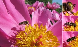 Пион с журчалкой <br />A Peony With A Hoverfly