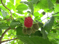 Первая малина <br />First Raspberries