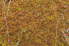 "«Ковёр» с росянками <br />""Carpet"" With Sundews"