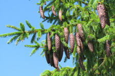 Ёлочка с шишечками <br />Fir-tree With Cones