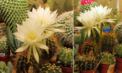 Эхинопсис новый <br />New Echinopsis