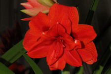 "Гиппеаструм «Red lion» <br />""Red Lion"" Hippeastrum"