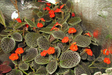 "Эписция ""Tiger Stripe"" <br />Episcia ""Tiger Stripe"""