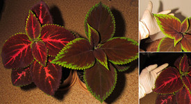 Колеусята <br />Coleus Seedlings