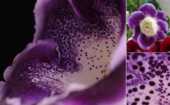 «Императрица пурпурная»