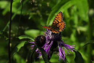 Перламутровка на васильке <br />Fritillary On a Knapweed