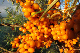 Облепиха <br />Common Sea Buckthorn