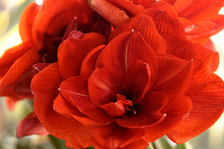 "Гиппеаструм «Red lion» <br />Hippeastrum ""Red Lion"""