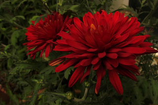Хризантема <br />Chrysanthemum