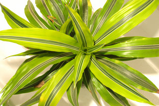 "Драцена «Warneckii Lemon» <br />Dracaena ""Warneckii Lemon"""