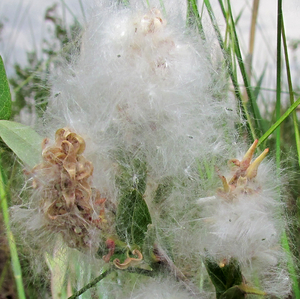 swamp willow, seeds