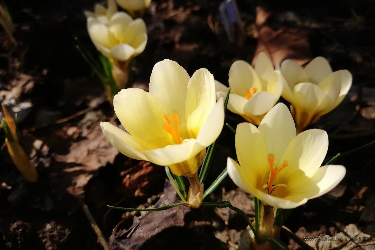 Крокус золотистый «Cream Beauty»