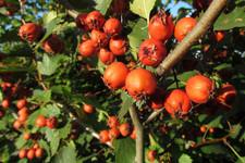 Боярышник кроваво-красный  | Redhaw Hawthorn
