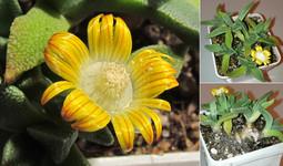 Наноцвет полосатый    Banded Nano-flower