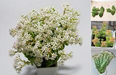 Цветущая толстянка  | Blooming Crassula