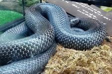 Мексиканская чернеющая змея