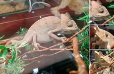 Хамелеончик | A Chameleon