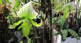 Пафиопедилюм Мауди  | Paphiopedilum Maudiae